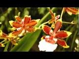 Виды орхидей (ч.2): цимбидиумы, онцидиумы, каттлеи, камбрии, фаленопсисы и др.