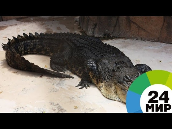 Крокодил-гигант отобрал улов у рыбаков в Австралии - МИР 24
