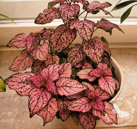 гипоэстес гипоэстес (hypoestes) это вечнозеленое растение семейства акантовых, распространенных в тропических районах южной африки и на острове мадагаскар. свое название род получил от греческих