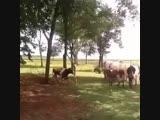 Лоб в Лоб )) Баран и Корова (720p).mp4
