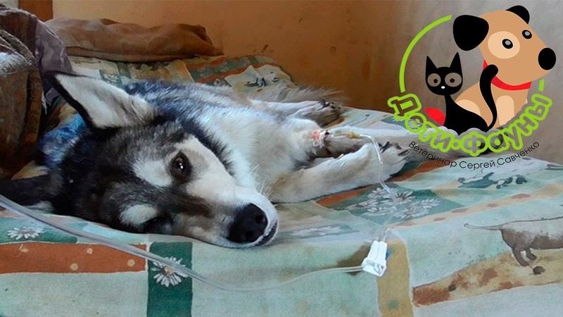 Рвота у собаки, собаку рвет, что делать Советы ветеринара