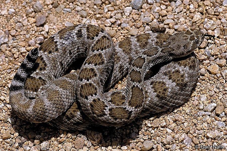 Ромбическая гремучая змея