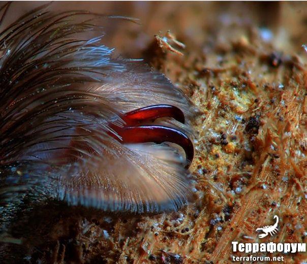 Poecilotheria-tigrinawesseli
