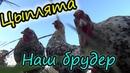 Цыплята Пушкинская порода Брудер для цыплят своими руками Жизнь в деревне