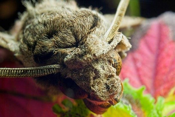 мотылек на листе колеуса