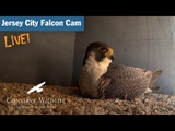Jersey City Falcon Cam - Pinhole Camera View