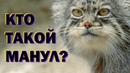 Манулы: Сердитый кот, выживающий в горах 😼