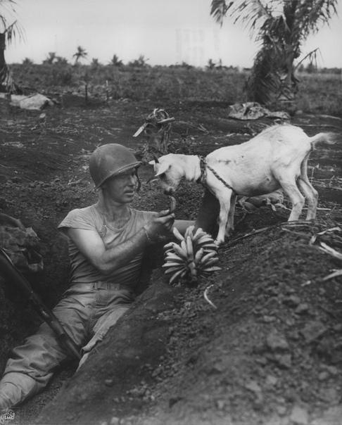 Нил Шобер, сержант морской пехоты США кормит бананами козу,