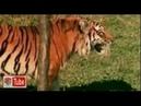 Тигр доминирует над гиеной