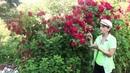 Плетистая роза Размножение и уход Сайт