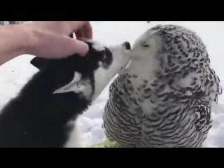 Маленький Хаски целуется с белой совой 😊