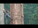 Amazing Cutting Dangerous Japanese Large Tree Wood Felling Down Skill Chainsaws Fast - Woodworking
