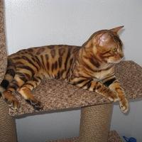 Бенгальский кот в кирове