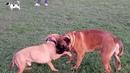 Питбуль против разных пород собак. Добрые игры