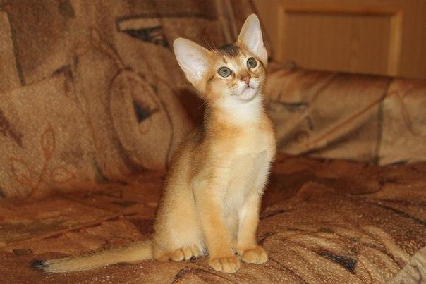 Продаётся абиссинский котёнок. Мальчик. Окрас дикий.
