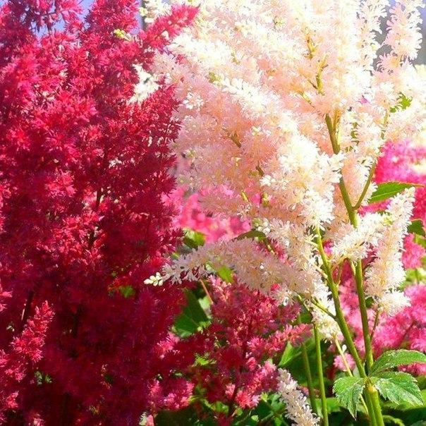 Астильба. Яркое и необычное растение для сада.