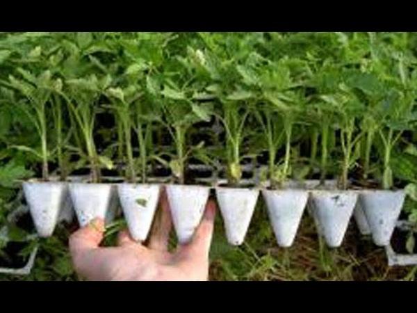 ТОМАТЫ РАСТУТ В 2 РАЗА БЫСТРЕЕ НОВЫЙ МЕТОД Фитильный полив рассада томаты перец баклажаны петуни