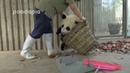 Как ухаживают за пандами в китайском зоопарке. Очень смешные животные