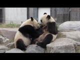 Панда Джиа постоянно отбирает у мамы бамбук