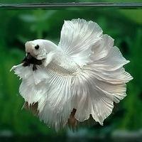 аквариумные петушки фото