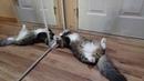 Сибирский котенок играет с мышкой