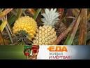 Еда живая и мёртвая: ананасовая диета и 5 опасных способов приготовления еды (02.12.2017)