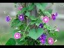 ИПОМЕЯ лиана для вертикального озеленения на балконе и в саду Посадка уход и выращивание