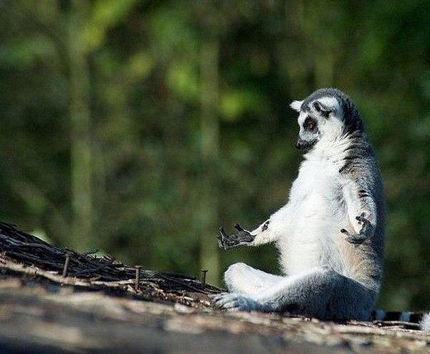 Медитирующий лемур.