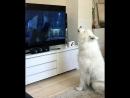 Самоед который любит смотреть мультфильмы