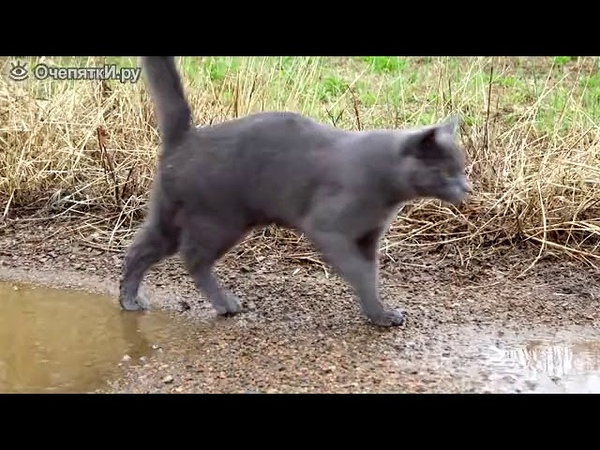 Кошка играет в луже