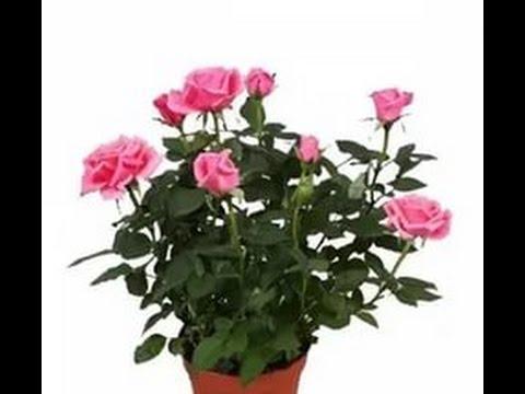 Пересадка комнатной розы. Transplanted Rose (flowers).