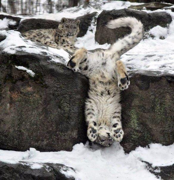 Будни снежного барса