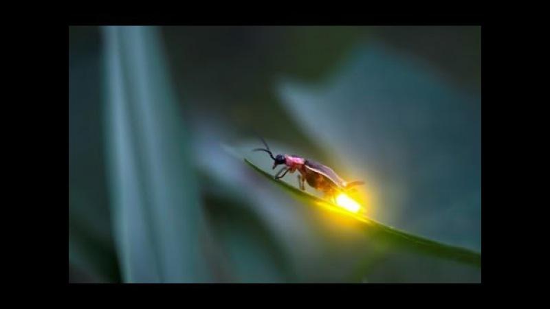 Сочинский светлячок. Удивительное открытие!