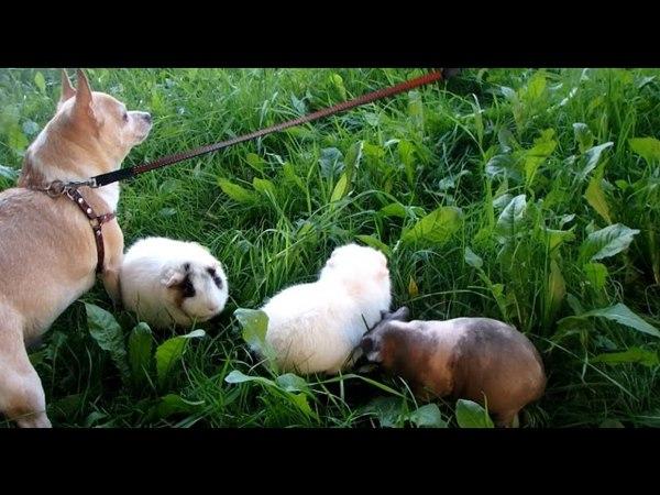 морские свинки на прогулке, Муха - пастушка