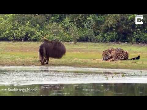 Ягуар спасовал перед огромным муравьедом