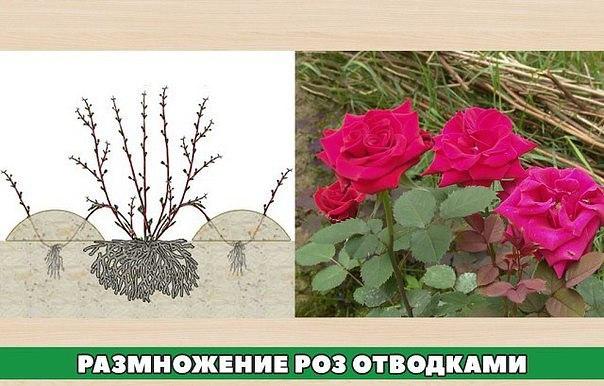 Розы отводками