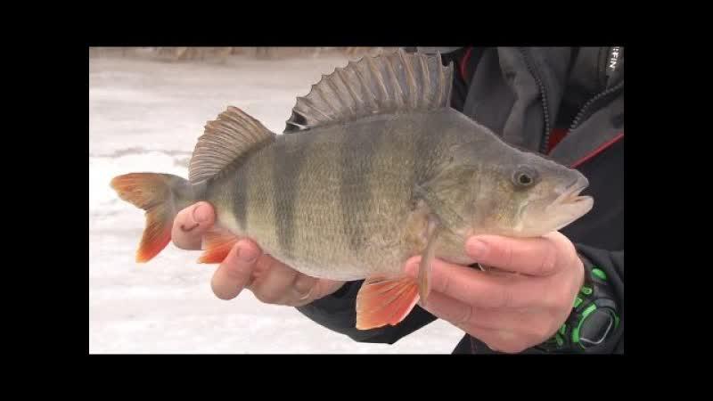 Зимняя рыбалка. Стратегия ловли окуня и плотвы на пруду. pbvyzz hs,fkrf. cnhfntubz kjdkb jreyz b gkjnds yf ghele.