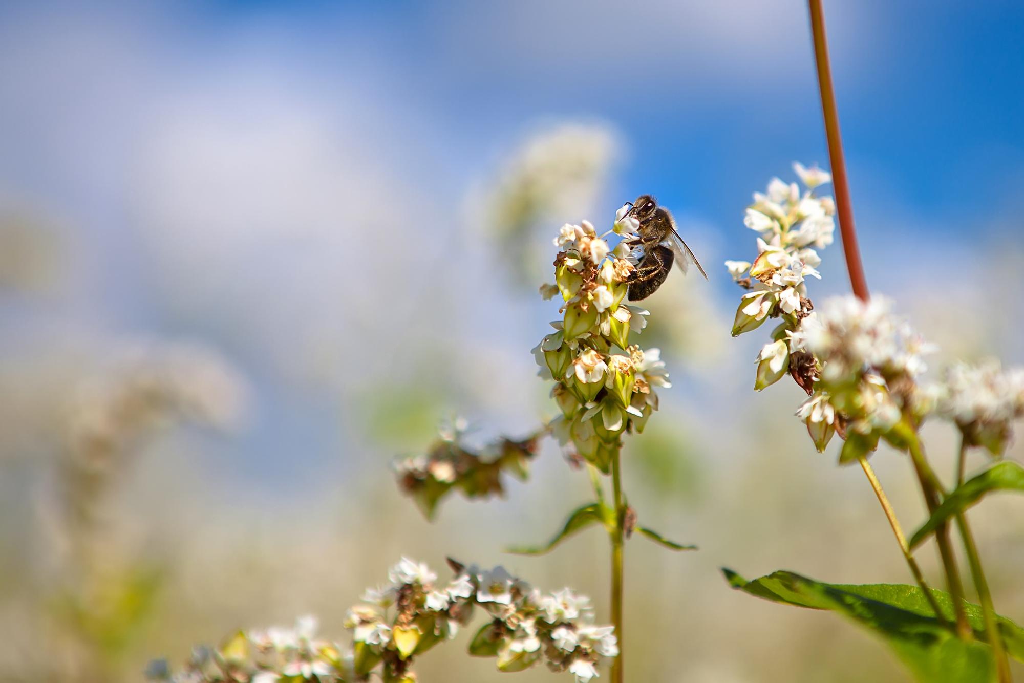 Пчёлы прилетают за пыльцой гречихи