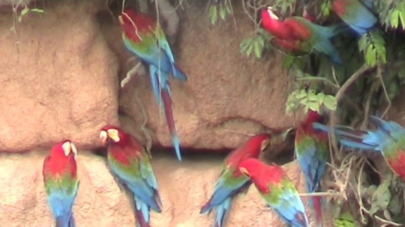 Guacamayos Manu Perú