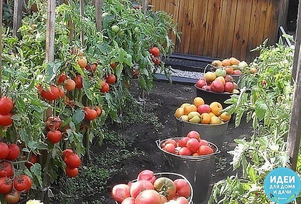 САМЫЕ ВКУСНЫЕ, САМЫЕ ЛЮБИМЫЕ МОИ ЗАПОВЕДИ ВЫРАЩИВАНИЯ ТОМАТОВ В течение многих лет, что я занимаюсь огородничеством, мой интерес к томатам только растет. Постепенно у меня накопился большой