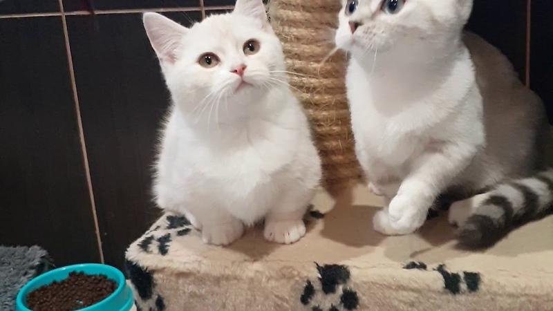 Munchkin Gaara blue eyed girl and her cute friend Susu