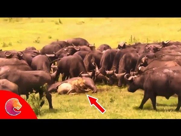 Trâu mẹ kéo hơn một 100 con Trâu Đực giải cứu con khỏi đàn Sư Tử , Sư Tử phải chạy lên cây trốn