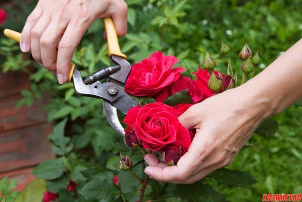 обрезка роз на зиму без ущерба для растения дикорастущие розы и без всякого вмешательства выглядят прекрасно, они не нуждаются ни в весенней обрезке, ни в осенней. а вот от садовых роз вы вряд