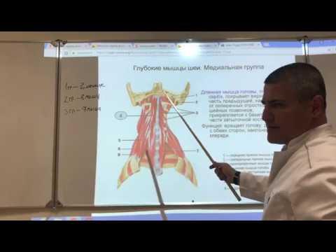 Анатомия шеи. Мышцы, треугольники и фасции шеи.
