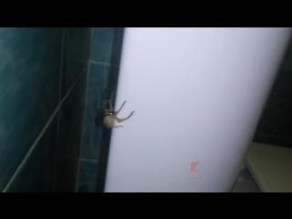 Краснодар. Из унитаза вылез огромный паук.