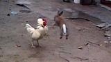 gallos vs conejos - quien ganara en una pelea de conejo contra gallo