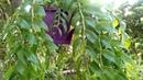 Chia sẻ kinh nghiệm giúp lan thân thòng nở hoa đúng mùa.