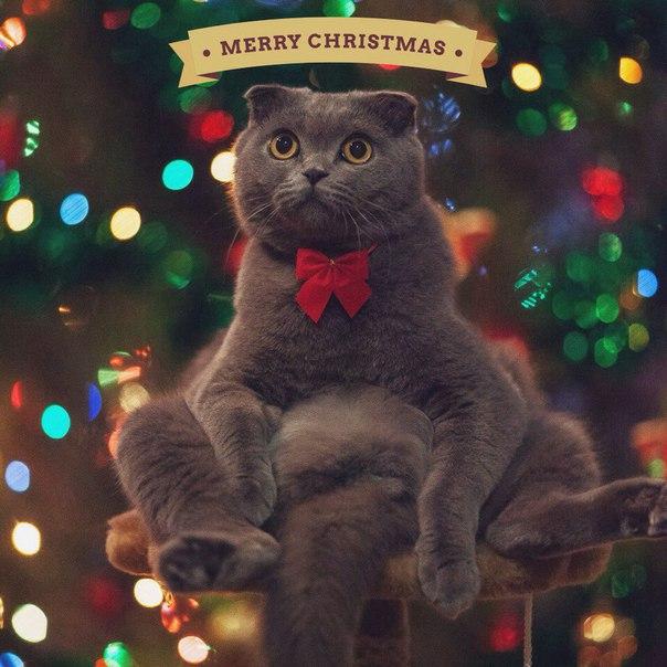 Серия рождественских фотографий кошек из instagram
