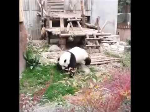 Настоящая Кунг фу Панда видео