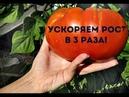 Как в 3 раза ускорить созревание помидор Секреты выращивания томатов!